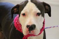 NAME: Melody  ANIMAL ID: 27666764  BREED: Pit  SEX: female  EST. AGE: 1 yr  Est Weight: 59 lbs  Health: heartworm neg  Temperament: dog friendly people friendly  ADDITIONAL INFO: RESCUE PULL FEE: $49  Intake date: 4/25  Available: 5/1