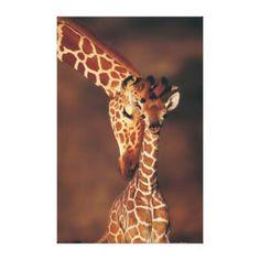 Adult Giraffe with c