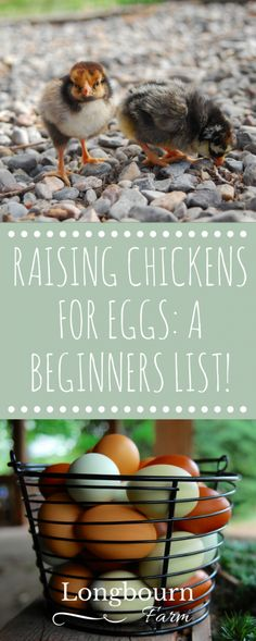 Interested in raising chickens for eggs? Learn about different chicken breeds, what age to buy, coop design, health care, chicken nutrition and more!
