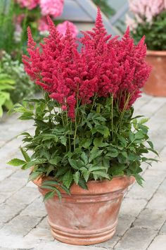 Shade planter... Astilbe 'Fireberry'