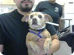 Phoenix, AZ - Chihuahua/Dachshund Mix. Meet ZERO, a dog for adoption. http://www.adoptapet.com/pet/15849359-phoenix-arizona-chihuahua-mix