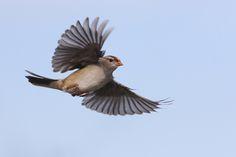 Chipping sparrow in flight