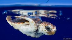 _73356524_satellite_tagged_neonate_loggerhead_released_in_gulf_stream_off_southeast_florida_coastat_sea_surface_2009_jim_abernethy_nmfs_permit_1551(1).jpg (660×371)