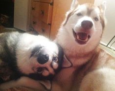 Always one silly one in the group Alaskan Husky dog Love My Dog, Funny Animal Pictures, Dog Pictures, Cute Pictures, Cute Puppies, Cute Dogs, Dogs And Puppies, Doggies, Awesome Dogs