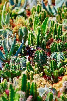 Cactus Gifts, Cactus Decor, Cactus Art, Cactus Flower, Cactus Plants, Buy Plants, Cactus Seeds, Succulent Seeds, Succulents