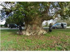 samsun çarşamba asırlık ağaçlar ile ilgili görsel sonucu