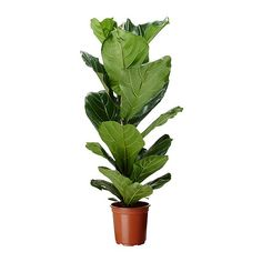Ficus lyrata (fiddle-leaf fig) now sold at ikea. Ficus Elastica, Ficus Lyrata, Potted Plants, Indoor Plants, Plant Pots, Fake Plants, Green Plants, Fiddle Leaf Fig Tree, Gardens