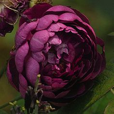 Rose 'Cardinal de Richelieu'- a Gallica. Makes a beautiful thicket of prickly shoots with dark, fragrant wine-purple flowers. Once blooming. Elegant Flowers, Amazing Flowers, Beautiful Roses, Beautiful Gardens, Cottage Garden Plants, Garden Roses, Ronsard Rose, Australia Landscape, Heritage Rose