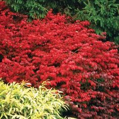 (Burning Bush) Fire Ball® Euonymus is a new, compact burning bush with tighter branching and superior stem hardiness. Even after the coldest of winters, Fire Ball® has no winter damage, unlike most other varieties. The brilliant fire-red fall color is also displayed earlier than others. Hardy to zone 3! A Proven Winners® ColorChoice® Flowering Shrub.