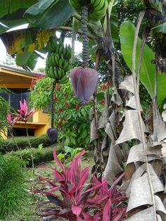Banana tree, Miradas  Arenal Cabinas, Costa Rica