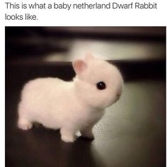 This is what a baby Netherland Dwarf Rabbit looks like.