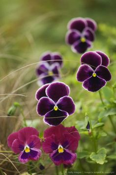Group of Pansy Flowers.