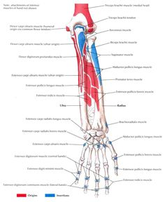 bony-attachments-of-muscles-of-forearm-posterior-view.jpg (1472×1800)