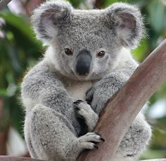 From the furry koala to the majestic swan, these eight dangerous but cute animals are the definitions of looks being deceiving. Koala Baby, Cute Koala Bear, Funny Koala, Cute Funny Animals, Cute Baby Animals, Animals And Pets, Funny Pets, Baby Otters, Bear Wallpaper