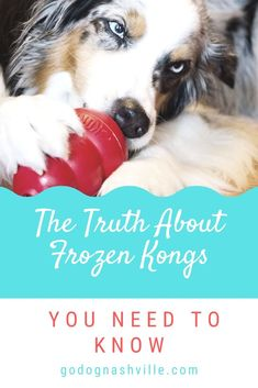 Here's the real scoop behind frozen Kongs you need to know – and why you should have some for your dog in the freezer right now. Kong Treats, Pet Treats, Excited Dog, Kong Dog Toys, Frozen Dog Treats, Easiest Dogs To Train, Dog Recipes, Dog Training Tips, New Puppy