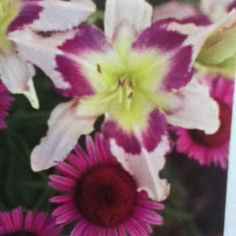 """""""Eye of theHurricane"""" day lily above pairs well with Purple coneflower"""