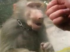 Suparata rau maimuta!!ca nu a primit ce a vrut