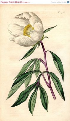 SALE 1815  Peony Antique Botanical Print by AntiquePrintGallery, $55.25