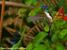 Spatuletail Hummingbird Photo from Hummingbird-guide.com. Endangered, exists in the Utcubamba Valley, Peru.