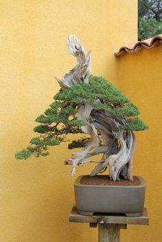BONSAI HUELVA