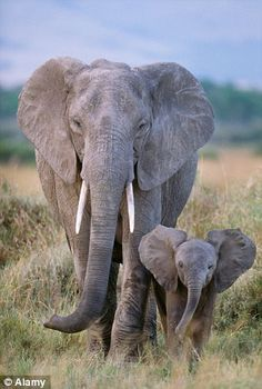 As many as elephants were killed by poachers between 2010 and and that the death rate is continuing at per year Elephant Pictures, Elephants Photos, Save The Elephants, Animal Pictures, Baby Elephants, Cute Animal Photos, Baby Animals Super Cute, Cute Little Animals, Elephant Photography