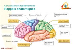 Brain Anatomy, Human Anatomy And Physiology, Physical Education Games, Science Education, Human Body Art, Deaf Culture, Nursing Students, Dental Health, Psychology