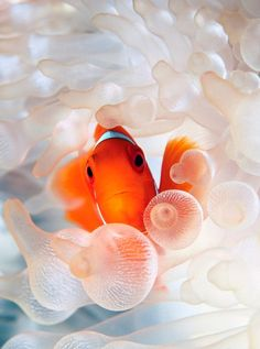 Clown Fish are native to the Indian Ocean, the Red Sea, and the western Pacific. Surprisingly, all clown fish are born males. Underwater Creatures, Underwater Life, Underwater Photos, Ocean Creatures, Underwater Photography, Nature Photography, Marine Photography, Photography Tags, Color Photography