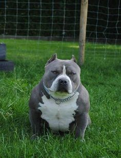 Pitbulls Lovers ♥ Bully ♥