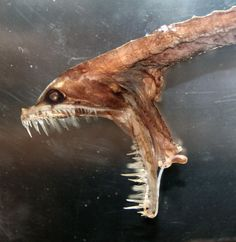 ??? This is scary....  Abyssal fish. Specimen in the Museum of Life Sciences, King's College London