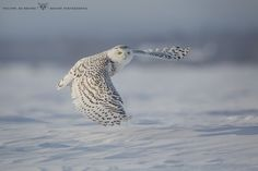 "Snowy owl !! - <a href=""http://monregardsurlanature.com/"">my website</a> <a href=""http://www.facebook.com/debruynephilippe"">my facebook page</a> Phil"