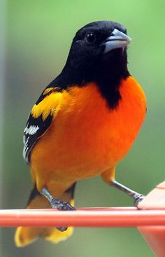 oriole - I saw one in my yard last year, for less than a minute, and it was one of the most amazing things I've ever seen! #backyardbirds