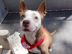 TO BE DESTROYED - SATURDAY - 7/26/14~ Manhattan Center -P My name is RANDY. My Animal ID # is A1006673. I am a male tan and white pit bull mix. The shelter thinks I am about 6 YEARS old.  I came in the shelter as a OWNER SUR on 07/14/2014 from NY 10451, owner surrender reason stated was NO TIME