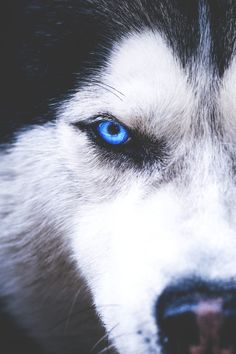 Undeniable Reasons to Own a Siberian Husky Ideas. Irrefutable Reasons to Own a Siberian Husky Ideas. Beautiful Wolves, Beautiful Dogs, Animals Beautiful, Husky Eyes, Wolf Husky, Siberian Husky Blue Eyes, Blue Eyed Husky, Siberian Huskies, Cute Puppies
