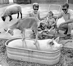 "When Penelope, a hefty pink Yorkshire hog, takes a dip in the water tank on a hot summer day at the Henry Doorly Zoo, the other animals don't stand a chance. In this photo, which ran Aug. 26, 1969, under the headline ""How to Get a Goat's Goat,"" Mr. and Mrs. Jerome Paulsen of Omaha and their 1½-year-old daughter, Jenifer, watch as Rasputin the goat politely urges Penelope to hurry it up a bit. THE WORLD-HERALD"