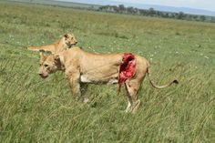 Lion fight with buffalo :(