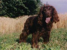 German Spaniel (Deutscher Wachtelhund) German Spaniel