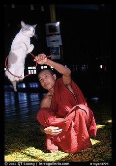Jumping cat and monk. Inle Lake, Myanmar