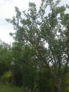 Huge plums, Dobricel, Transylvania