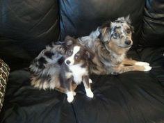 These are my Australian shepherd puppies :)