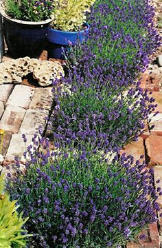 Dwarf Thumbelina Leigh English lavender for small gardens. Perfect for containers, tiny paving pockets and edging. Blooms three times per year.