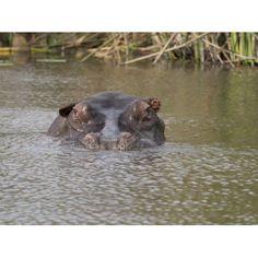 Hippopotamus (Hippopotamus amphibius) head in pond Okavango Delta Ngamiland Botswana Canvas Art - Panoramic Images (12 x 16)