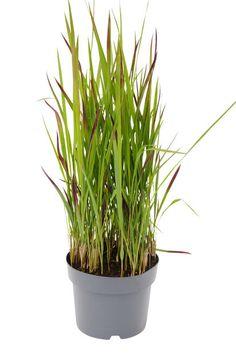 Japansk blodgress Diameter 19 cm Rød | Plantasjen Imperata Red Baron, Planting, Garden, Terrace, Sun, Balcony, Plants, Lawn And Garden, Porch