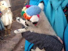 This baby llama is wearing a hat.