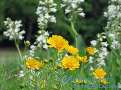 Vibrant, yellow Coreopsis flowers against a background of white flowers in a garden.