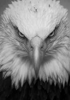 eagle by robert_cy Eagle Images, Eagle Pictures, Beautiful Birds, Animals Beautiful, National Geographic Photography, Eagle Drawing, Eagle Wallpaper, Animals Black And White, Music Drawings