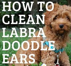 Labradoodles are prone to ear infections and waxy build up. Prevent smelly ears and painful infections by learning how to clean Labradoodle ears. Ear Cleaning, Labradoodles, F1b Labradoodle, Australian Labradoodle, Dog Training Tips, Ear Wax, Dog Grooming, Bernese Mountain, Mountain Dogs