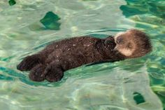 shhhh. he is sleeping now. -sea otter ラッコ
