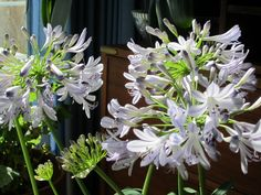 agapanthus blooming inside in February