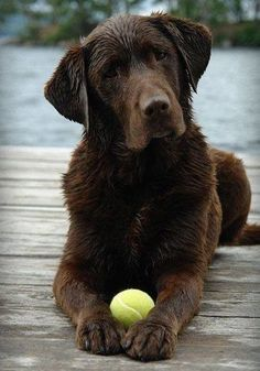 Mind Blowing Facts About Labrador Retrievers And Ideas. Amazing Facts About Labrador Retrievers And Ideas. Chocolate Lab Puppies, Chocolate Labrador Retriever, Golden Retriever, Labrador Retriever Dog, Chocolate Labs, Labrador Puppies, Cute Puppies, Cute Dogs, Dogs And Puppies