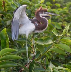 On the southeastern coastal plain, the Tricolored Heron - Egretta tricolor; is a characteristic bird of quite shallow waters. Strikingly slender, with long bill, neck and legs, it is often seen wading belly-deep in coastal lagoons. Although it is solitary in its feeding, it is sociable in nesting, often in very large colonies with various other herons and egrets.